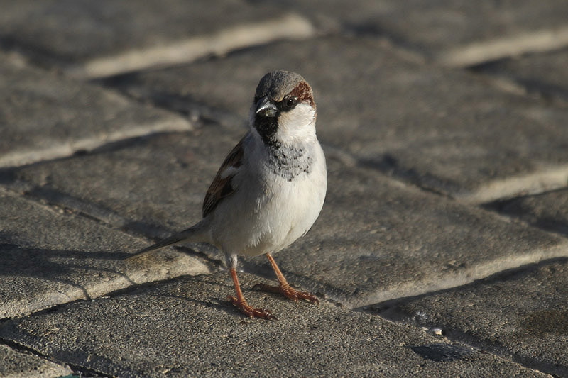 House sparrow (2). Photo by Mick Dryden