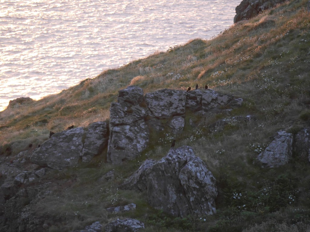 Choughs gathering at a communal roost site. Photo by Liz Corry.