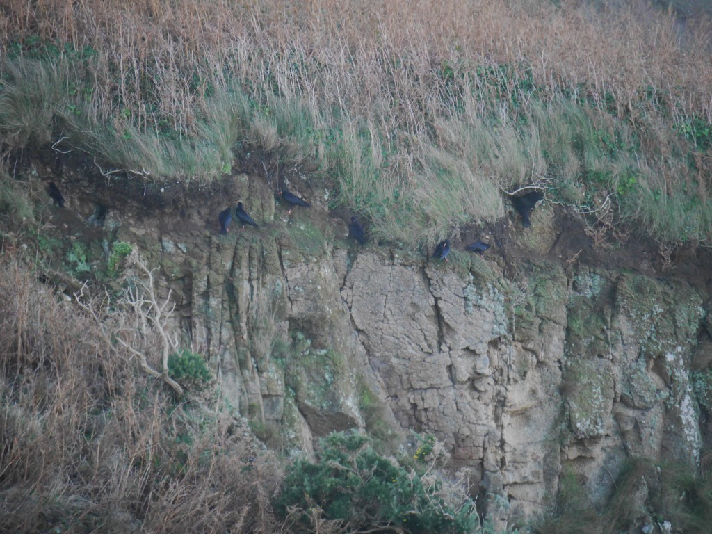Choughs at Devil's Hole rock face. Photo by Liz Corry