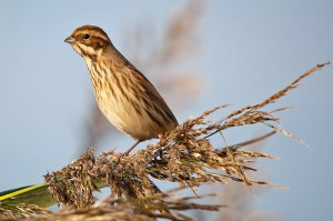 Reed bunting. Photo by Romano da Costa.