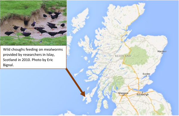 Supplementary feeding study of wild choughs living in Islay showed an increase in juvenile survival rates over-winter.