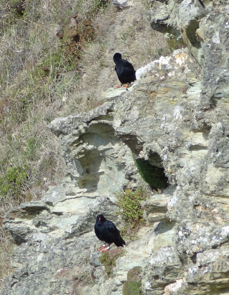 Choughs in South Stack, Anglesey