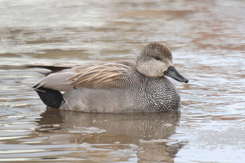 Gadwall. Photo by Mick Dryden