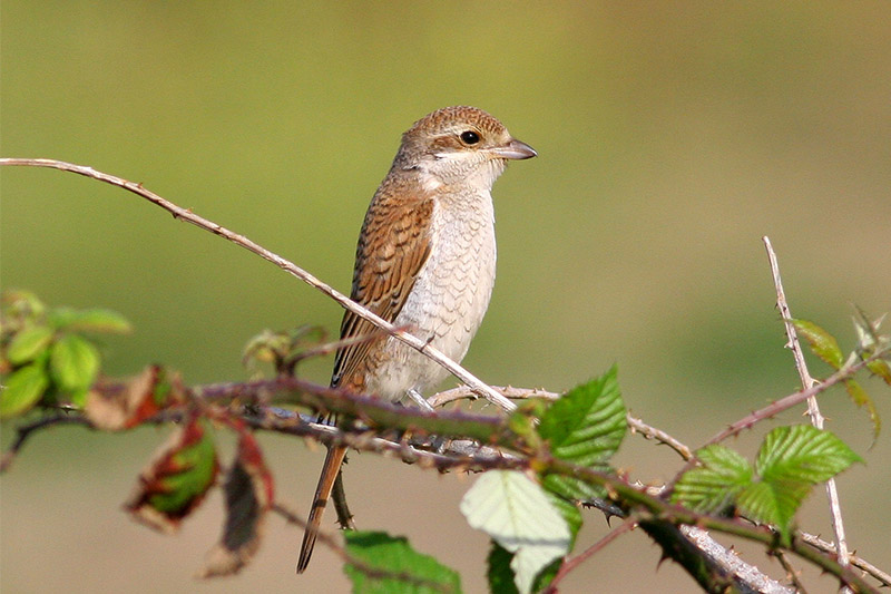 Red-backed shrike. Photo by Duncan Wilson