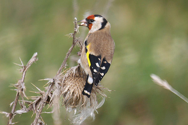 Goldfinch. Photo by Mick Dryden