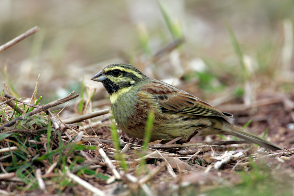 Weedy stubbles are an important food source for foraging Cirl Buntings in the winter. (Andy Hay. rspb-images.com)