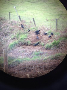 Choughs sifting through dead bracken in search of insects. Photo by Jennifer Garbutt