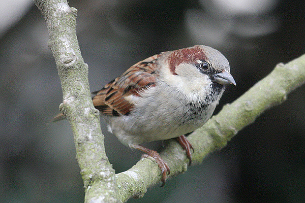 House sparrow (4). Photo by Mick Dryden