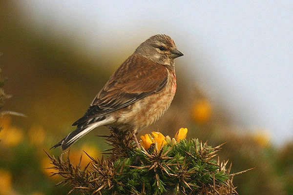 Linnet 3. Photo by Mick Dryden
