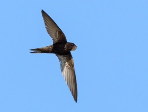 Swift. Photo by Tony Loaring