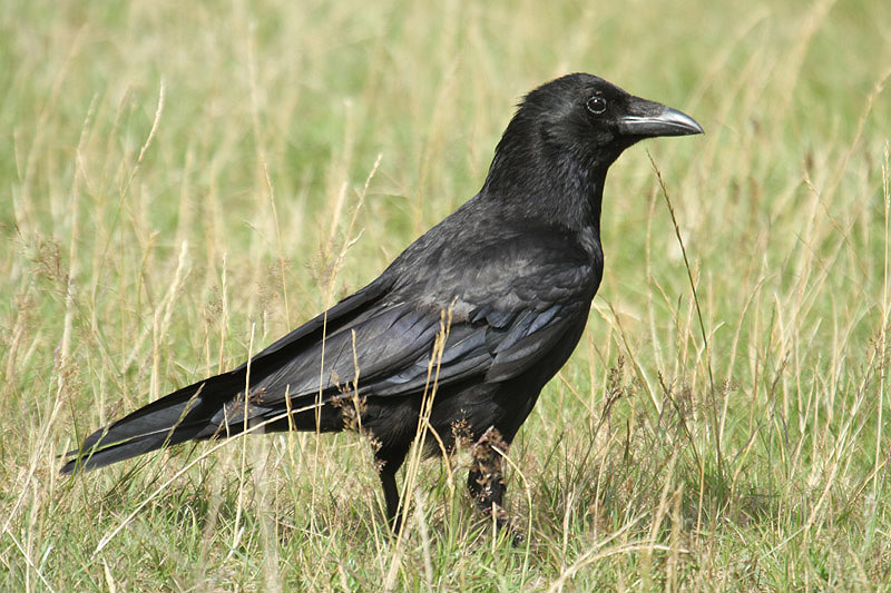 Carrion crow (3). Photo by Mick Dryden