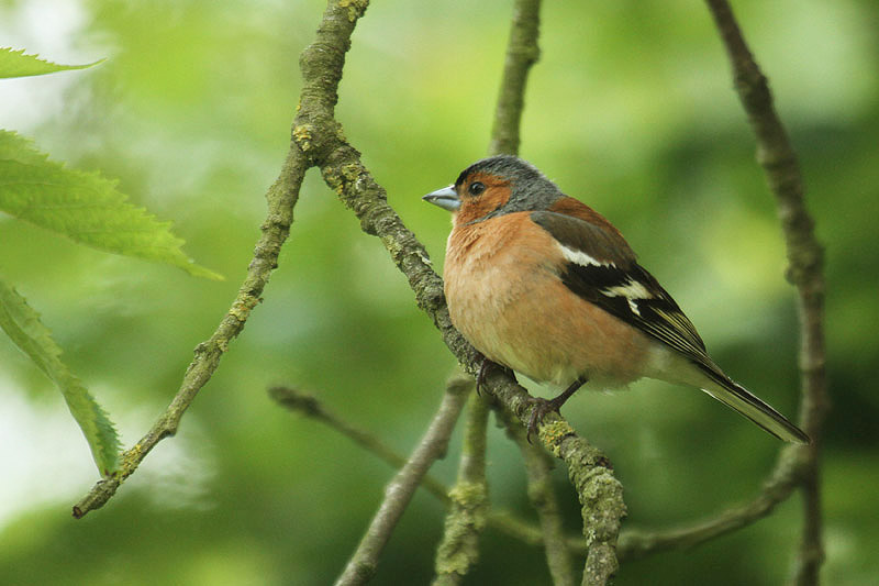 Chaffinch (6). Photo by Mick Dryden