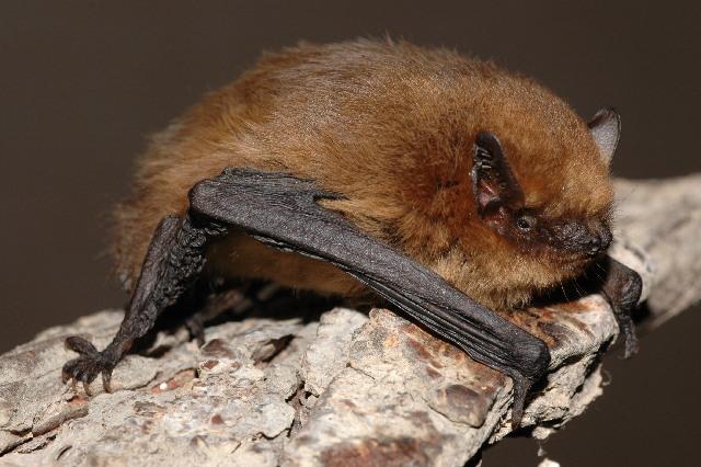 Pipistrellus pygmaeus