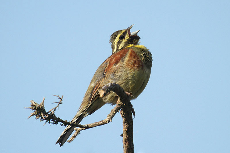 Cirl bunting (8). Photo by Mick Dryden
