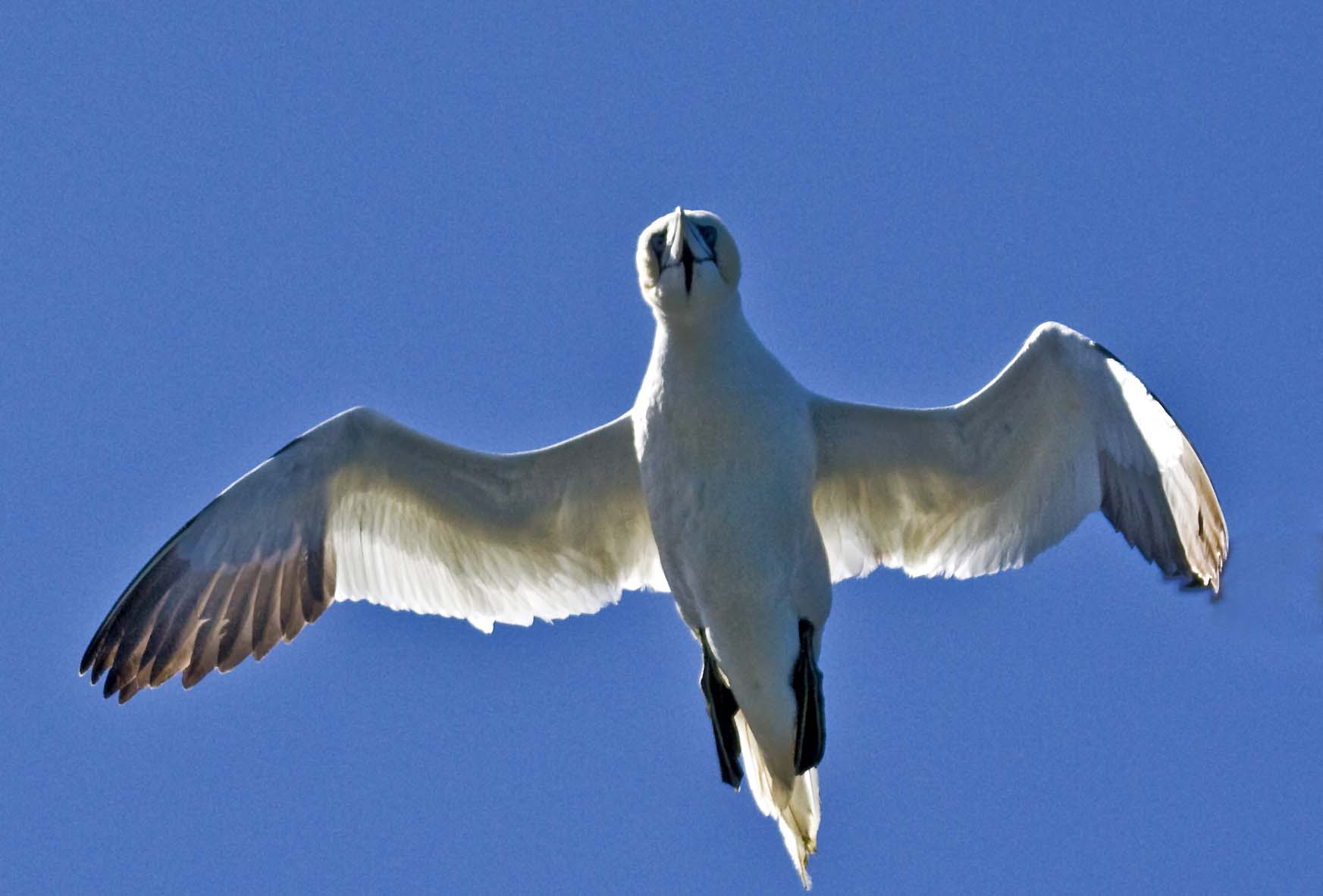 Gannets Les Etacs Bill Black, courtesy Alderney Wildlife Trust (3)