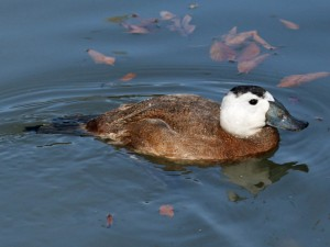 799px-White-headed_Duck_(Oxyura_leucocephala)_RWD2