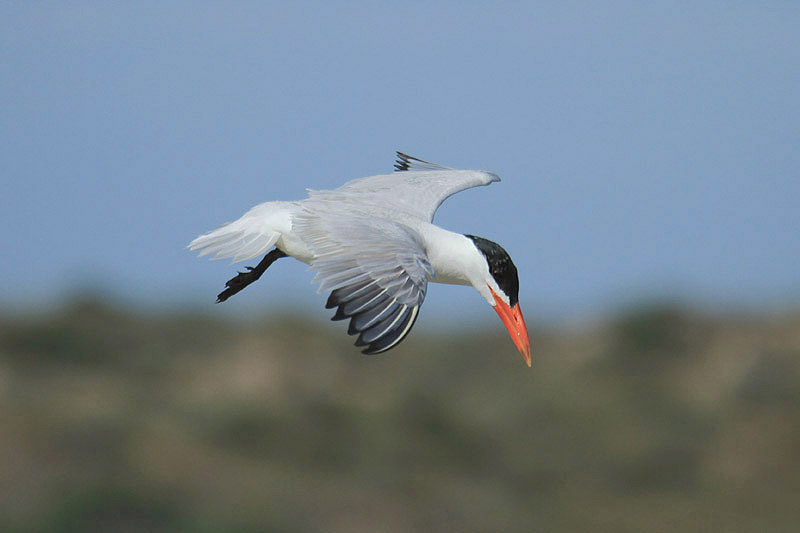Caspian tern (2). Photo by Mick Dryden