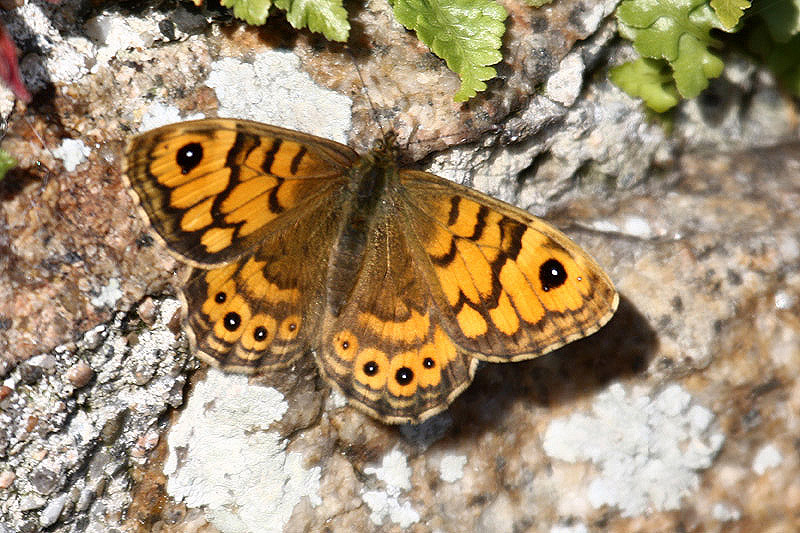 Wall brown. Photo by Mick Dryden