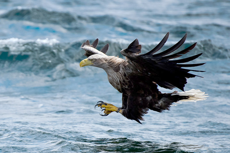 White-tailed eagle. Photo by Romano da Costa