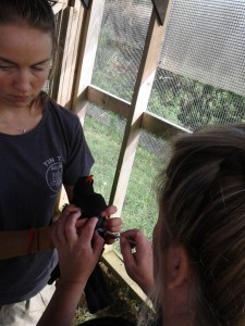Vet nurse, Mel Frost, injects one of the sick choughs with a wormer. Photo by Liz Corry.
