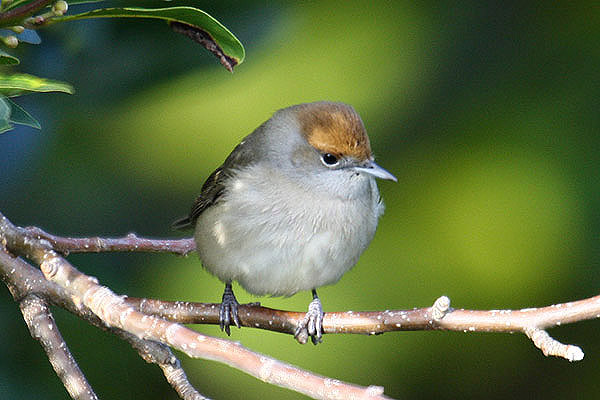 Blackcap (female). Photo by Mick Dryden