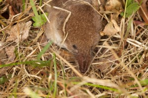 Millet's shrew in Jersey (2). Photo by Gregory Guida