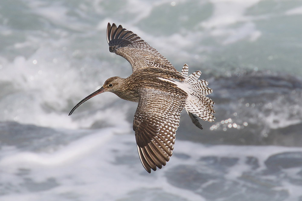 Curlew. Photo by Mick Dryden