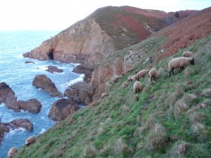 Manx loaghtan sheep at Le Don Paton. Photo by Aaron le Couteur (18)