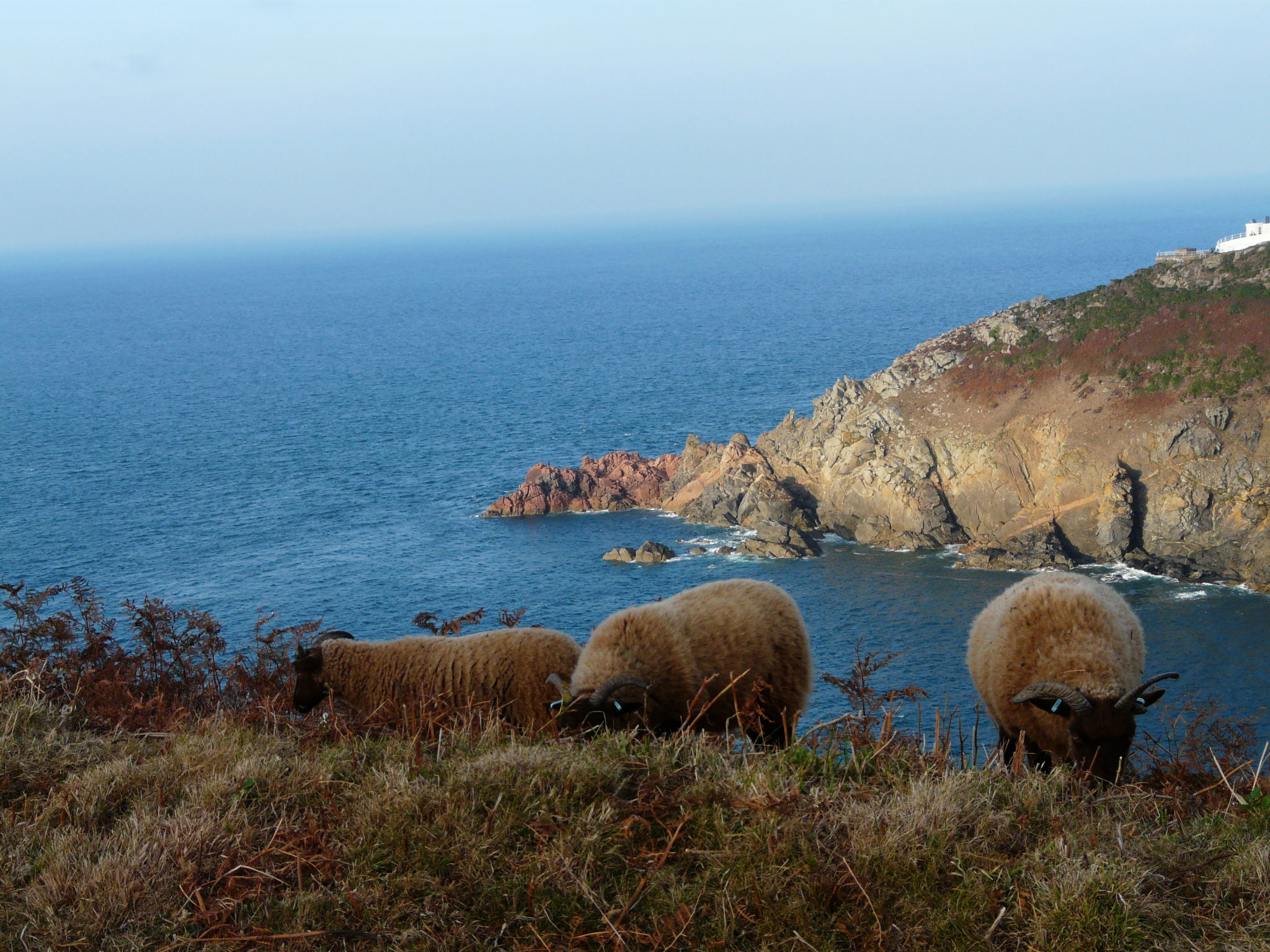 Manx loaghtan sheep at Le Don Paton. Photo by Aaron le Couteur (2)