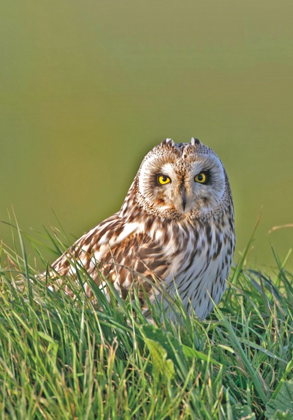 Short-eared owl. Pleinmont, Torteval, Guernsey. From The Birds of Guernsey