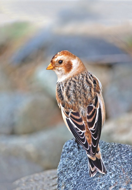 Snow bunting, Fort Doyle, Vale, Guernsey. From The Birds of Guernsey