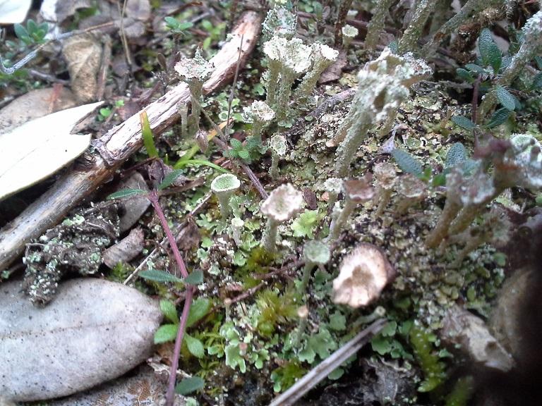 Cladonia fimbriata R