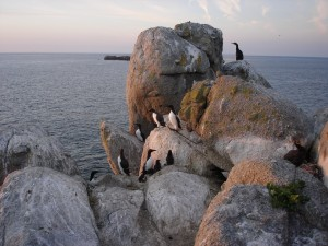 Guillemots on The Humps by Michelle Hooper