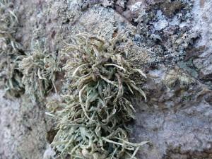 Ramalina siliquosa Sea Ivory R
