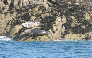 Seals Grande Amfroque - by Charles David