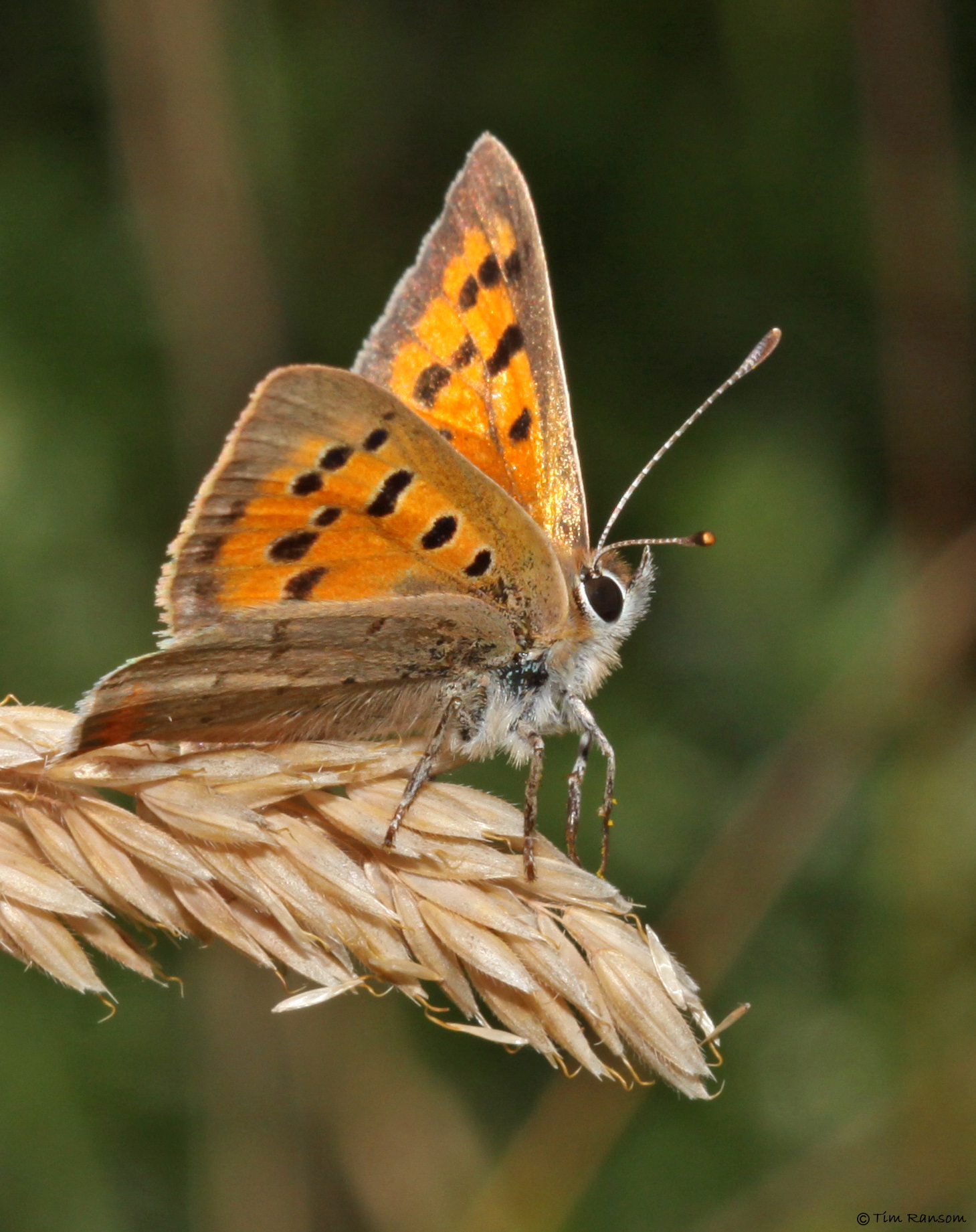 Small Copper butterfly. Photo by Tim Ransom