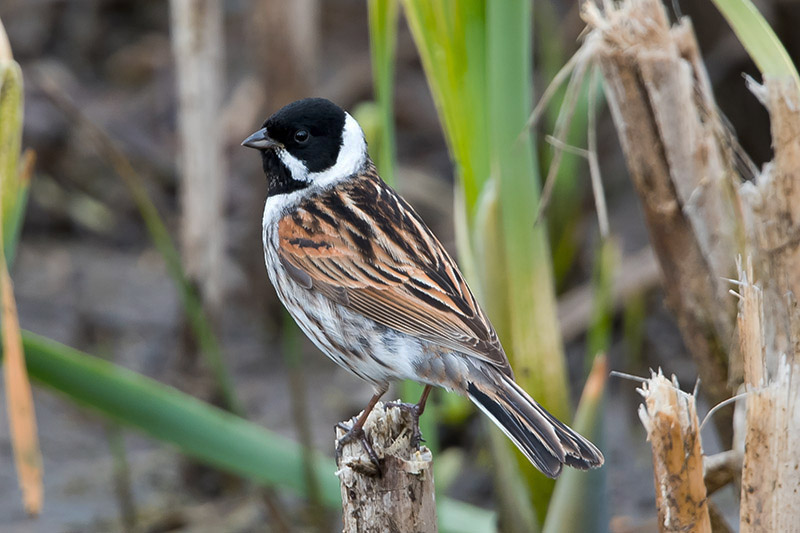 Reed bunting male. Photo by Romano da Costa.