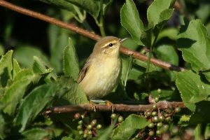 Willow warbler (5). Photo by Mick Dryden