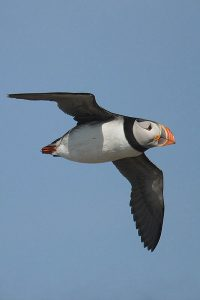Atlantic puffin (2). Photo by Mick Dryden