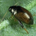 lundy-cabbage-flea-beetle