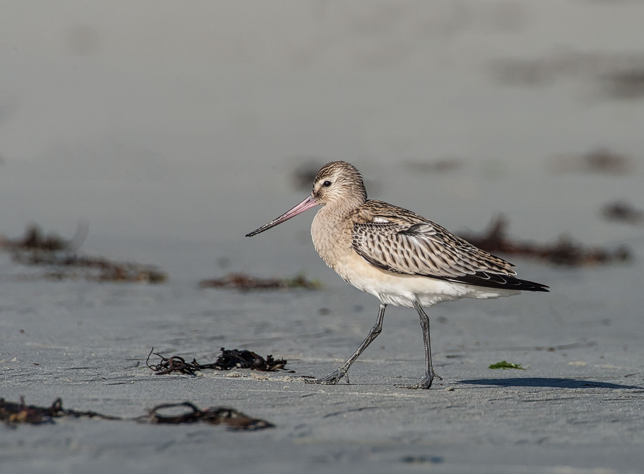 bar-tailed-godwit-photo-by-barry-wells