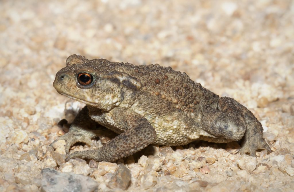 common-toad-photo-by-kristian-bell
