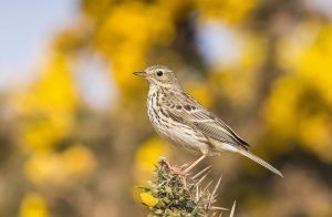 meadow-pipit-photo-by-barry-wells