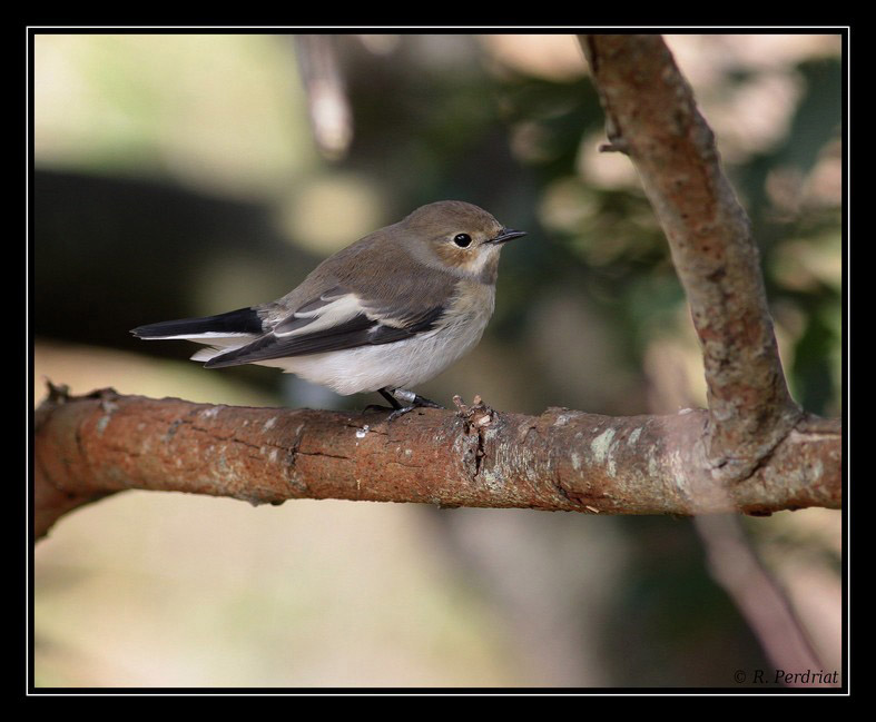 pied-flycatcher-photo-by-romano-da-costa