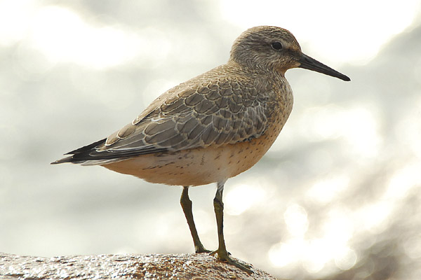 red-knot-photo-by-romano-da-costa