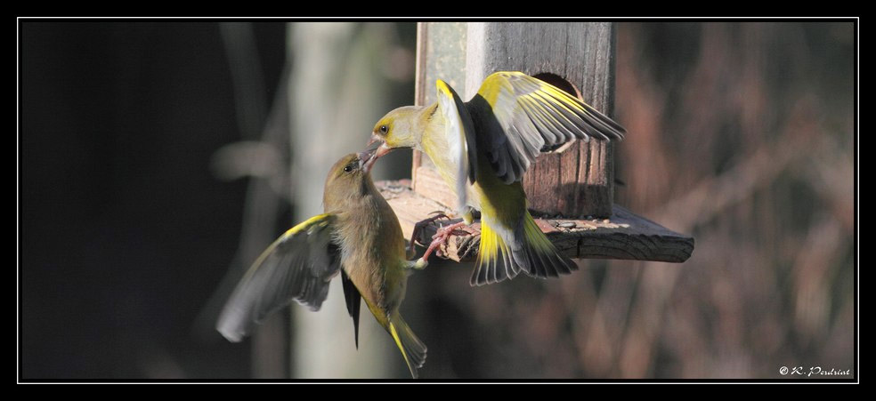Greenfinch (2). Photo by Regis Perdriat