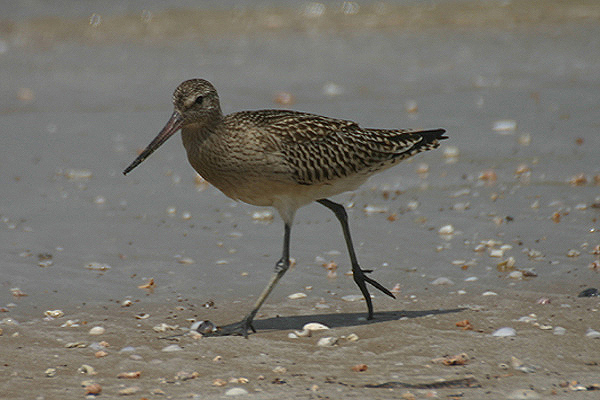Bar-tailed godwit. Photo by Mick Dryden