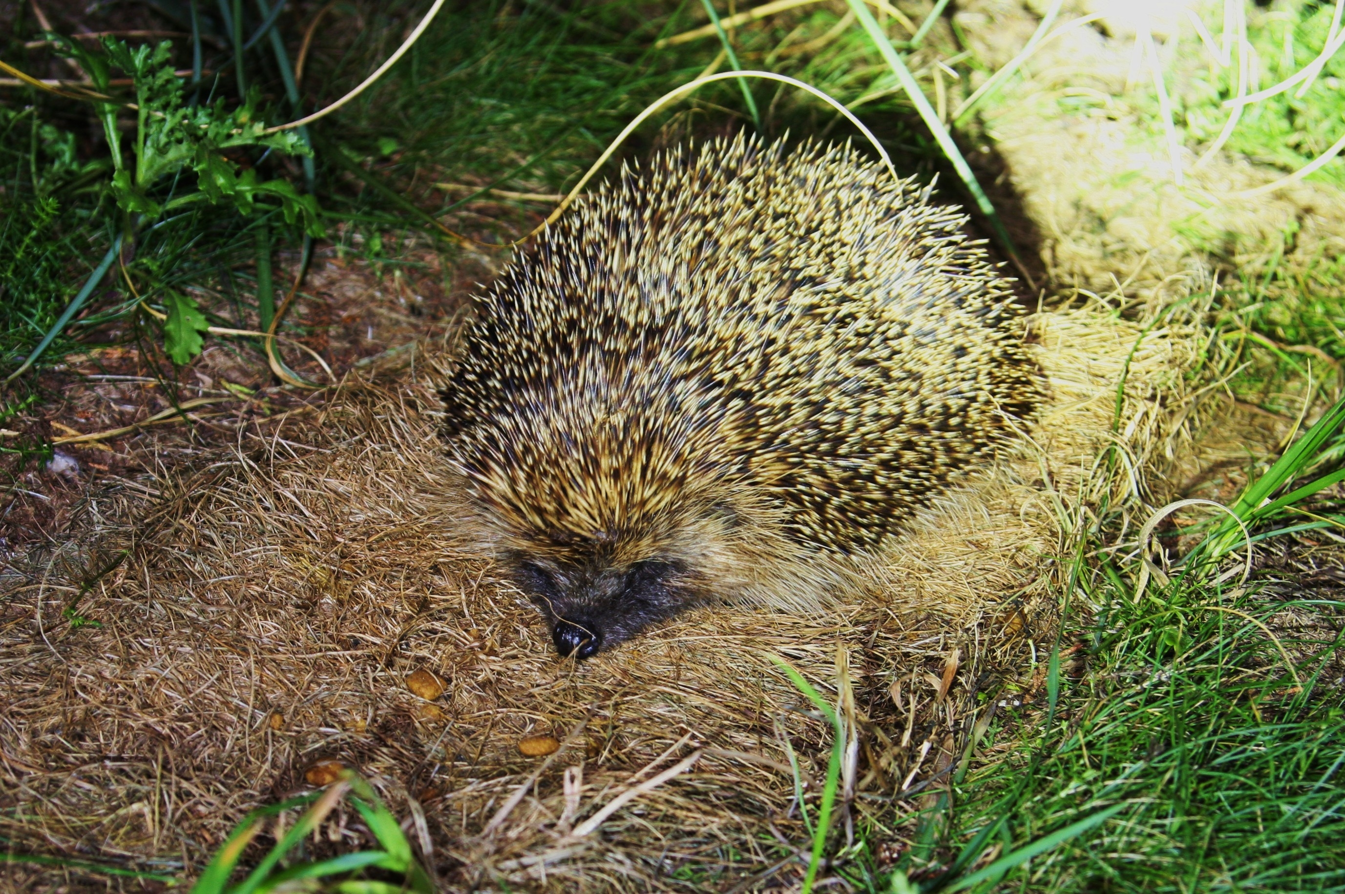 Hedgehog (2). Photo by Miranda collett
