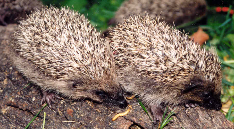 Two young hedgehogs on a log. Photo from Jersey Hedgehog