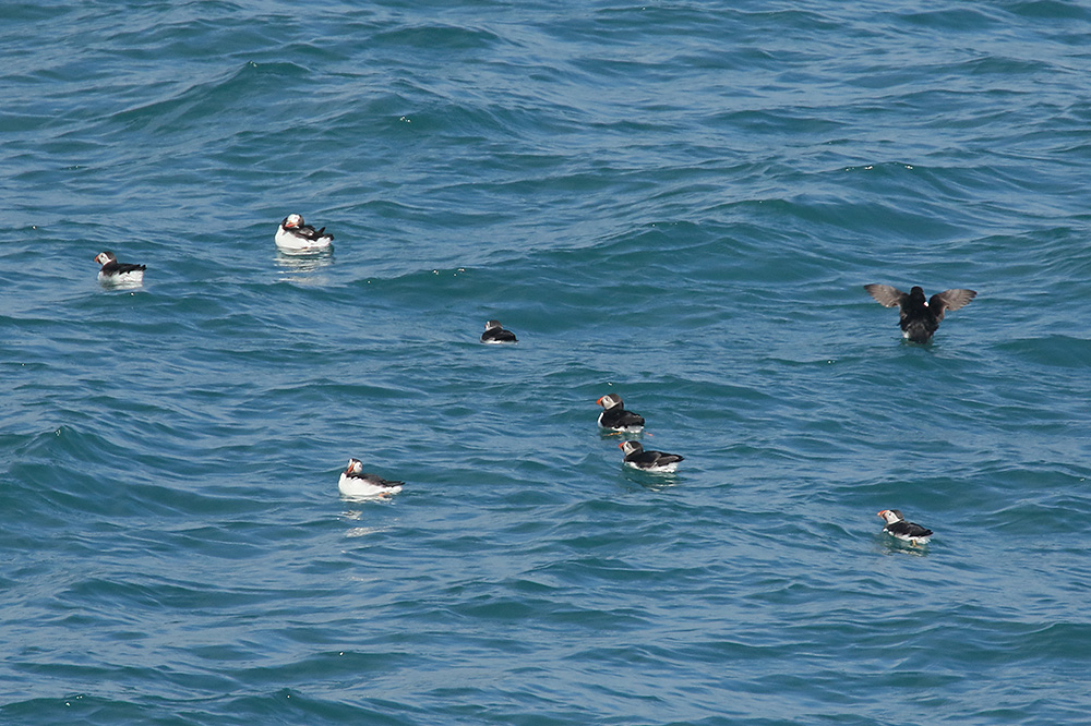Atlantic puffins 15-6-2017. Photo by Mick Dryden (2)